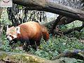 Red panda ,sikkim.jpg