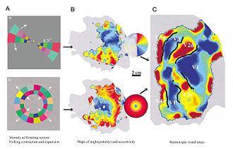 Retinotopy - Retinotopic maps with explanation
