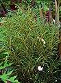 Rhamnus frangula 'Ron Williams' Plant 2000px.jpg