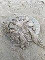 Rhizostoma octopus 54229157.jpg