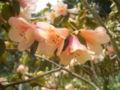 Rhododendron ambiguum x concatenans 04-05-2006 14.23.46.JPG