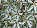 Rhododendron desquamatum (5556549885).jpg