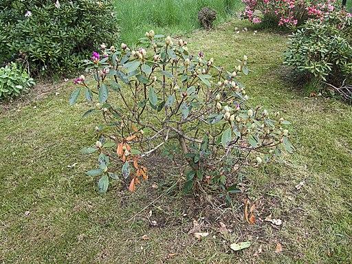 Rhododendron ponticum Cercospora handelii, pontische rododendron Cercospora handelii (1)