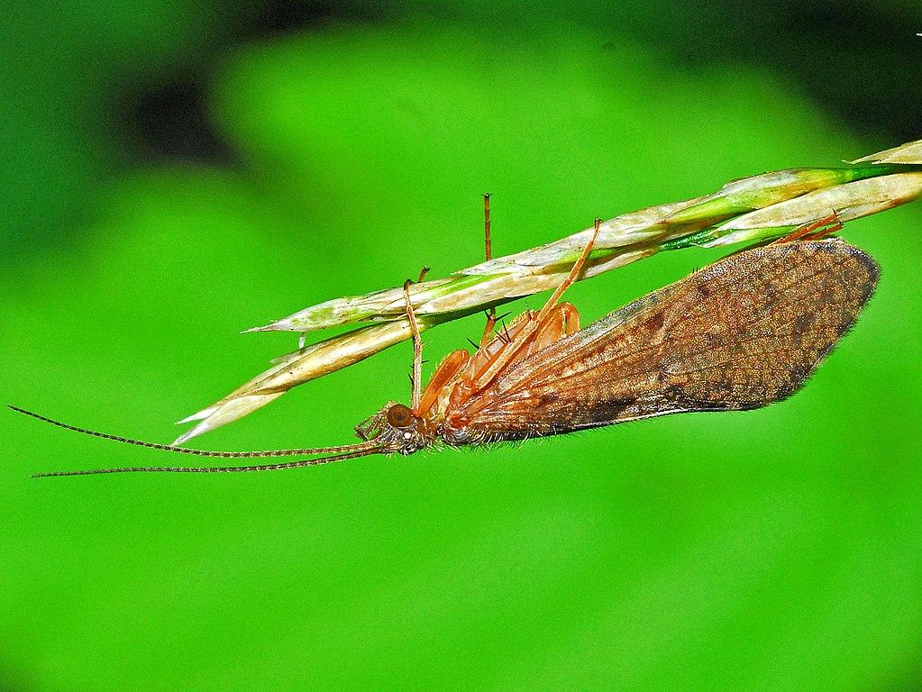 Ryacophila sp.