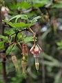 Ribes californicum.jpg