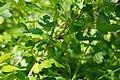Ribes uva-crispa - fruit green1.jpg