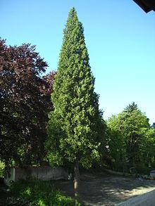 Thuja Holz Verwendung lebensbäume gattung