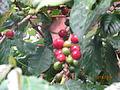 Ripe coffee berries mbale.JPG