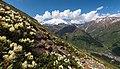 Rododendrony1.jpg