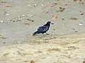 Rook (Corvus frugilegus) - geograph.org.uk - 1482921.jpg