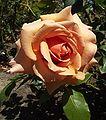 Rosa-overthemoon.jpg