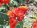 Rosa 'Chorus' sp.71.jpg