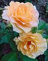 Rosa 'Honey Perfume'.jpg