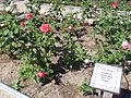 Rosa 'Luarca' Dot RPO.jpg