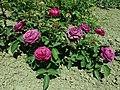 Rosa Heidi Klum Rose 2019-06-05 7604.jpg