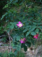 Rosa glauca 1.jpg