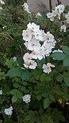 Rosa multiflora - Πολυανθής τριανταφυλλιά.jpg