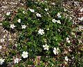 Rosa sempervirens 02062003.JPG