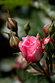 Rose, Lilibet - Flickr - nekonomania (1).jpg