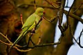 Rose-ringed Parakeet (Psittacula krameri), Parc de Woluwé, Brussels (24719128684).jpg