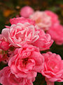 Rose Pixie バラ ピクシー (6326052070).jpg