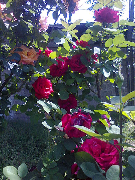 File:Rose bush.jpg