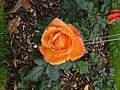 Rose du parc du thabor - panoramio (3).jpg