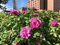 """Rose rugosa """"Japanese Rose"""", umn - Flickr - odako1.jpg"""
