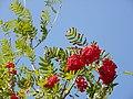Rowan (Sorbus aucuparia).jpg