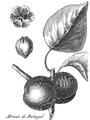 Rozier - Cours d'agriculture, tome 1, pl. 4 abricot de portugal.png