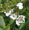 Rubus boliviensis - Flickr - Dick Culbert.jpg