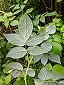 Rubus idaeus leaf underside.jpg