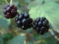 Rubus laciniatus2.jpg