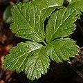 Rubus pedatus (leaf).JPG