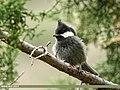 Rufous-naped Tit (Periparus rufonuchalis) (36385257525).jpg
