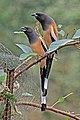 Rufous treepie (Dendrocitta vagabunda vagabunda) Jahalana 6.jpg