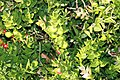 Ruscus aculeatus 2zz.jpg