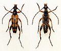 Rutpela maculata (15298376994).jpg