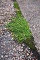 Sagina procumbens plant (09).jpg