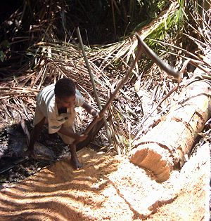 Sago - A sago palm being harvested for sago production