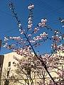 Saint Petersburg. Chinese Garden. Sakura tree2014 06.jpg