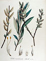 Salix acuminata — Flora Batava — Volume v14.jpg