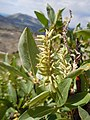 Salix eastwoodiae (23987999513).jpg