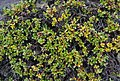 Salix khokhriakovii 102000875.jpg