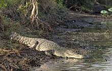 Saltwater Crocodile on a river bank.jpg