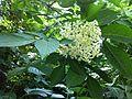 Sambucus nigra flowers 2.JPG