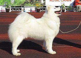 chiot husky a vendre elevage