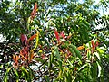 Santalum freycinetianum (5209507417).jpg
