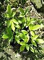 Santol seedlings2.jpg