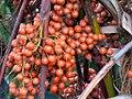 Saribus rotundifolius fruit (35044307905).jpg